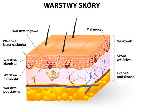 warstwy skóry
